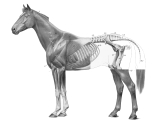 Anatomical horse drawing
